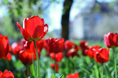 Nice Red Tulip Stock Images