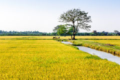 Nice ripen rice fields in late afternoon. Royalty Free Stock Images
