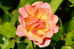 Nice rose Stock Images