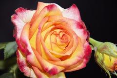 Nice rose Stock Image