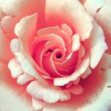 Nice rose Stock Photography