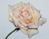 Nice rose Royalty Free Stock Image