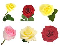 Nice roses set isolated. Nice flowers, roses red and yellow isolated background white, clipping path Stock Images