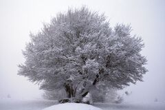 A nice round tree on the storm snow