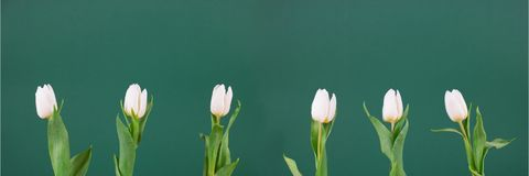 A nice row of white tulips with leafs and green background stock photo