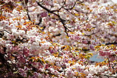 Nice sakura background Stock Images