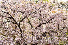 Nice sakura background Royalty Free Stock Photo