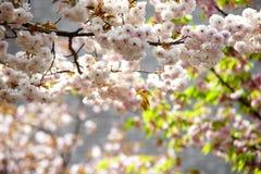 Nice sakura background Stock Photos