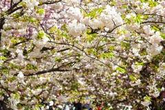 Nice sakura background Royalty Free Stock Photography