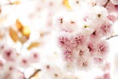 Nice sakura background Royalty Free Stock Photos