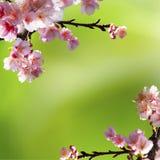 Nice sakura background Stock Image