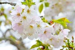 Nice Sakura Stock Images