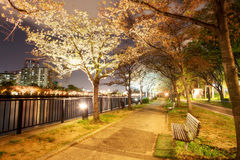Nice sakura beside the river, Japan Stock Image