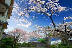 Nice sakura with temple Royalty Free Stock Photography