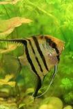 Nice Scalar Fish Royalty Free Stock Photo