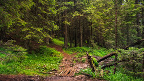 Nice scene with forest in Carpathian mountains, Ukraine Royalty Free Stock Photo