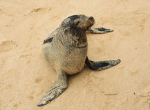 Nice sea lion resident of Galápagos Islands decided to introduce himself Royalty Free Stock Images