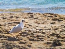 Nice seagull on the beach near the sea Stock Photo