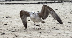 Beautiful seagull on sand near sea, Lithuania royalty free stock images