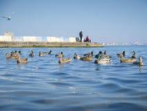 Nice seagulls and cute ducks on the sea Stock Photography