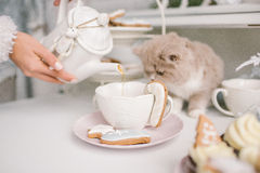 Nice selkirk rex cat looking into tea cup on table Royalty Free Stock Photography