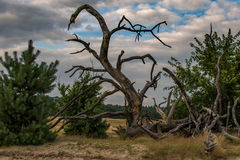 Nice shape head of a dragon. Dead tree in the shape off a dragon Royalty Free Stock Photo
