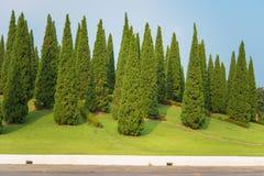 Nice shape pine tree Stock Photo