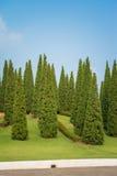 Nice shape pine tree Royalty Free Stock Image