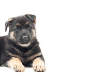 Nice Shepherd puppy. Lies on a white background stock photo