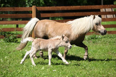 Nice shetland mare with foal running Stock Photography