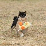 Nice Shiba inu puppies running Stock Photo