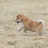 Nice Shiba inu puppy running Stock Image