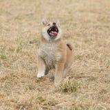 Nice Shiba inu puppy running Royalty Free Stock Photos