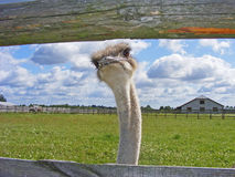 A nice shot of Ostrich glance. / ferm Royalty Free Stock Image