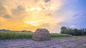 Nice sky on corn fields Royalty Free Stock Images