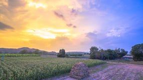 Nice sky on corn fields Royalty Free Stock Photos