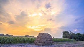 Nice sky on corn fields Royalty Free Stock Photo
