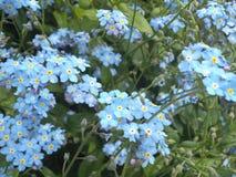 Nice slösar glömma-migsom är fullvuxen i en vårträdgård i Vancouver Arkivfoto