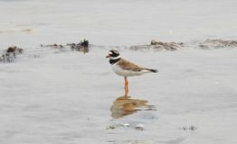 Beautiful bird near Baltic sea, Lithuania stock image