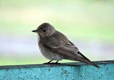 Beautiful little bird on metallic surface, Lithuania Royalty Free Stock Photography