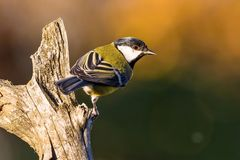 Nice small great-tit avian sitting on dry twig. Horizontal photo of single male great-tit. The bird has yellow, white, green and black color on feathers. Avian Royalty Free Stock Photos