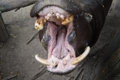 Small hippo animal. Nice small hippo animal is very hungry royalty free stock photos