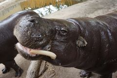 Small hippo animal. Nice small hippo animal is very hungry stock photography