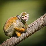 A nice small monkey Royalty Free Stock Photography