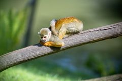A nice small monkey Stock Images