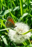 Nice small orange butterfly perched on grass in front of faded dandelion Royalty Free Stock Photos