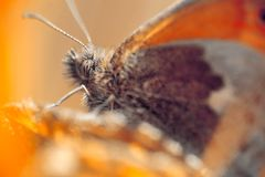 Nice small orange butterfly sitting on grass, orange colored mac. Ro photo stock images