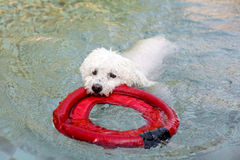 Poodle swimming on a swimming pool Royalty Free Stock Photos