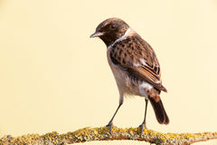 Nice specimen of female Stonechat Royalty Free Stock Photos