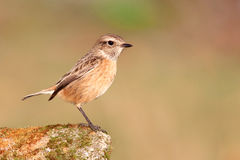Nice specimen of female Stonechat Royalty Free Stock Photo